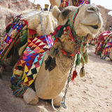 wielbłądzi target861_0_ Zdjęcia Stock