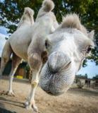 Wielbłądzia śmieszna twarz Fotografia Royalty Free