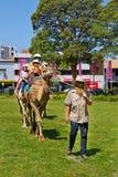 Wielbłądzia jazda przy wielokulturowym festiwalem w Sydney Zdjęcia Stock