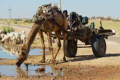 Wielbłądzia napój woda od drogi strony stawu w Jamba, India Obraz Stock