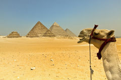 Wielbłądzia przygoda Zdjęcia Royalty Free