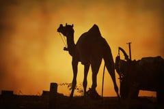 Wielbłądzia sylwetka w Pushkar, Mela Zdjęcie Royalty Free