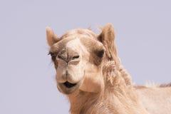 Wielbłądzia twarz Zdjęcia Royalty Free