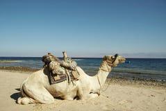 wielbłądzich linii brzegowych morza czerwonego Obraz Royalty Free