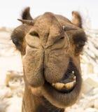 wielbłąd głowa Fotografia Royalty Free