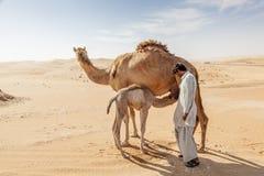 Wielbłąd i łydka w Liwa oazie Obrazy Stock