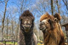 Wielbłądzia łydka i matka Zdjęcia Royalty Free