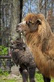 Wielbłądzia łydka i matka Fotografia Stock