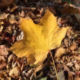 Wielcy Żółci liścia spadku kolory Zdjęcia Royalty Free