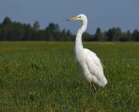 Wielcy biali Egret stojaki w zieleni polu obrazy royalty free