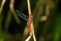 Wielcy dragonflies niebieski pole kwiaty trawy nieba łąkowego lato Obrazy Royalty Free