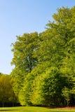 Wielcy drzewa z zielonymi liśćmi zdjęcie royalty free