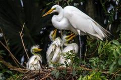 Wielcy Egret gniazdowniki Obraz Stock