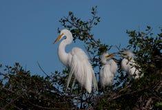 wielcy egret juveniles matkują biel dwa Fotografia Stock