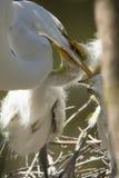 Wielcy egret kurczątka chwyta dorosłego ` s rachunek w Floryda rookery Obraz Stock