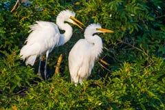 Wielcy Egret kurczątka Obraz Royalty Free