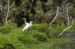 Wielcy egrets Obrazy Stock