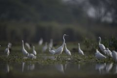 Wielcy Egrets w jeziorze Obraz Royalty Free