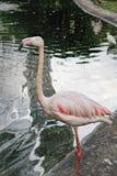Wielcy flamingów stojaki stawem Zdjęcia Stock