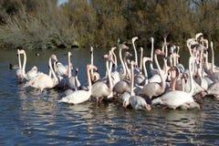 Wielcy flamingi Fotografia Stock