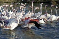 Wielcy flamingi Fotografia Royalty Free