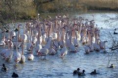 Wielcy flamingi Zdjęcia Royalty Free