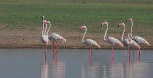 Wielcy flamingi Zdjęcie Royalty Free