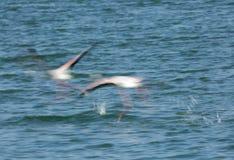 Wielcy flamingi biega latać Obrazy Royalty Free