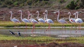 Wielcy flamingi (Phoenicopterus roseus) Zdjęcia Royalty Free