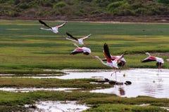 Wielcy flamingi (Phoenicopterus roseus) Zdjęcie Stock