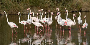 Wielcy flamingi, phoenicopterus roseus, Camargue Obraz Royalty Free