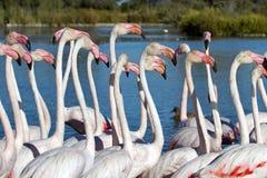Wielcy flamingi, phoenicopterus roseus, Camargue Fotografia Stock