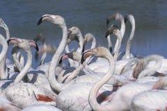 Wielcy flamingi, Phoenicopterus ruber Camargue, Provence, zdjęcie royalty free