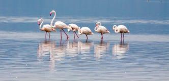 Wielcy flamingi stoi w jeziorze Zdjęcia Stock