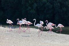 Wielcy flamingi w Dubaj obrazy stock