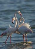 Wielcy flamingi w ranku świetle Obrazy Stock