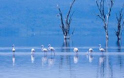Wielcy flamingi watuje przez jeziora Zdjęcie Royalty Free