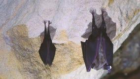 Wielcy i podkowa lesser nietoperze w jamie zbiory