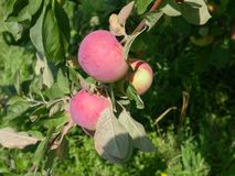 Wielcy jabłka na gałąź zdjęcia royalty free