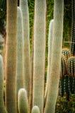 Wielcy kaktusowi Cephalocereus senilis z długie włosy obraz stock