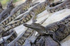 Wielcy krokodyle Obrazy Stock