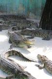 Wielcy krokodyle Obraz Royalty Free
