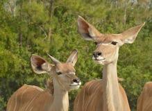 wielcy kudu Zdjęcia Royalty Free