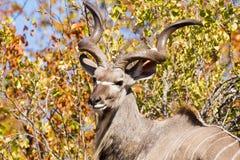 Wielcy kudu rogi & głowa Obraz Royalty Free
