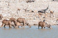 Wielcy kudu, Tragelaphus strepsiceros, woda pitna zdjęcie royalty free