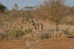 Wielcy kudu w muśnięciu Zdjęcie Stock