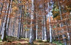 wielcy lasy z kolorami jesień Obraz Royalty Free