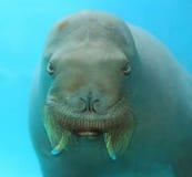 Wielcy morsy Stawiają czoło Podwodnego Obrazy Stock