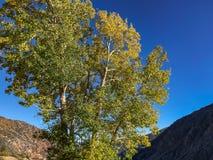 Wielcy Osikowi drzewa w Lee Vining zdjęcia royalty free