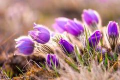 Wielcy pasque kwiatów Pulsatilla grandis z wodnymi kroplami, rezerwat przyrody wewnątrz fotografia royalty free